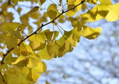 秋日に光る黄葉