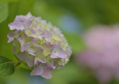 微笑む紫陽花