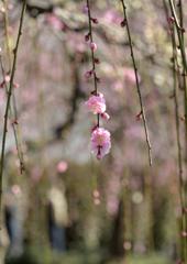 ひと枝の春