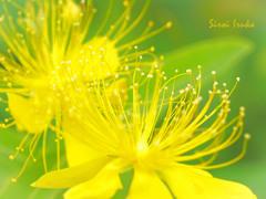 黄色い花火