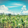 入道雲とトウモロコシ畑