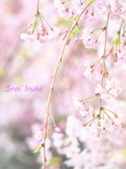桜色の優しさ