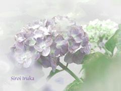 薄紫色の思い出