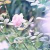 薔薇の囁き