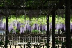 玉敷神社の藤4