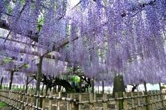 玉敷神社の藤3