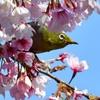 桜の中から。