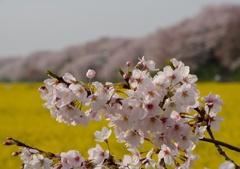 権現堂の桜