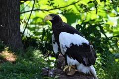 上野動物園のオオワシ1