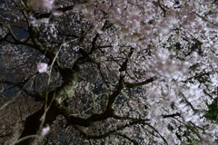 神社の夜桜2