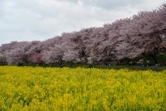 春の権現堂