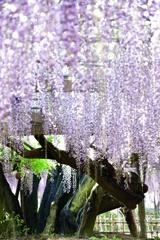 玉敷神社の藤1