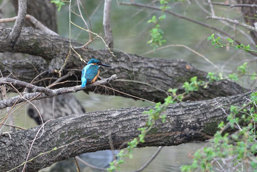 近所の沼のカワセミ2