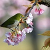 早咲きの桜の上で。3
