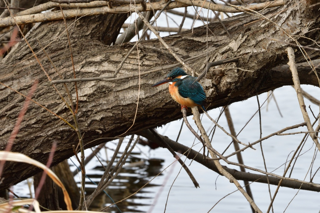 近所の沼のカワセミ1
