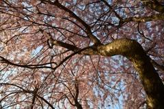 春の権現堂3