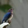 オオルリの幼鳥2