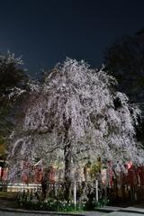 神社の夜桜1