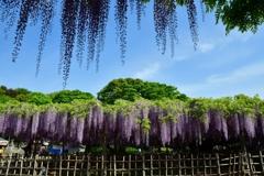 玉敷神社の藤2