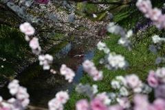 春の隼人堀川1