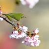 早咲きの桜の上で。