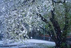 桜吹雪かと思いきや…マジ吹雪!?