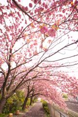 八重桜繚乱