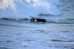 海のギャング シャチ