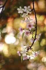 微笑みの五弁花