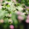脇役の紫陽花