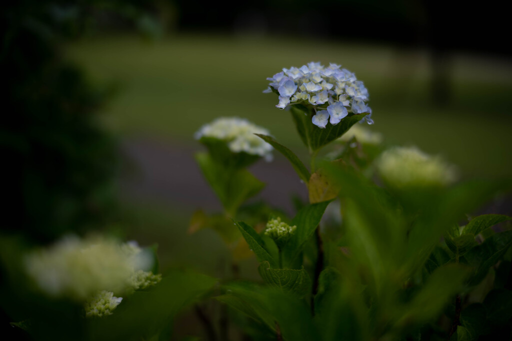 長閑な散歩道から(公園の紫陽花)