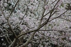 天まで咲いて