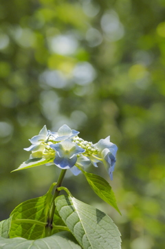 煌めきの紫陽花