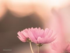 恋する…… 秋桜♡