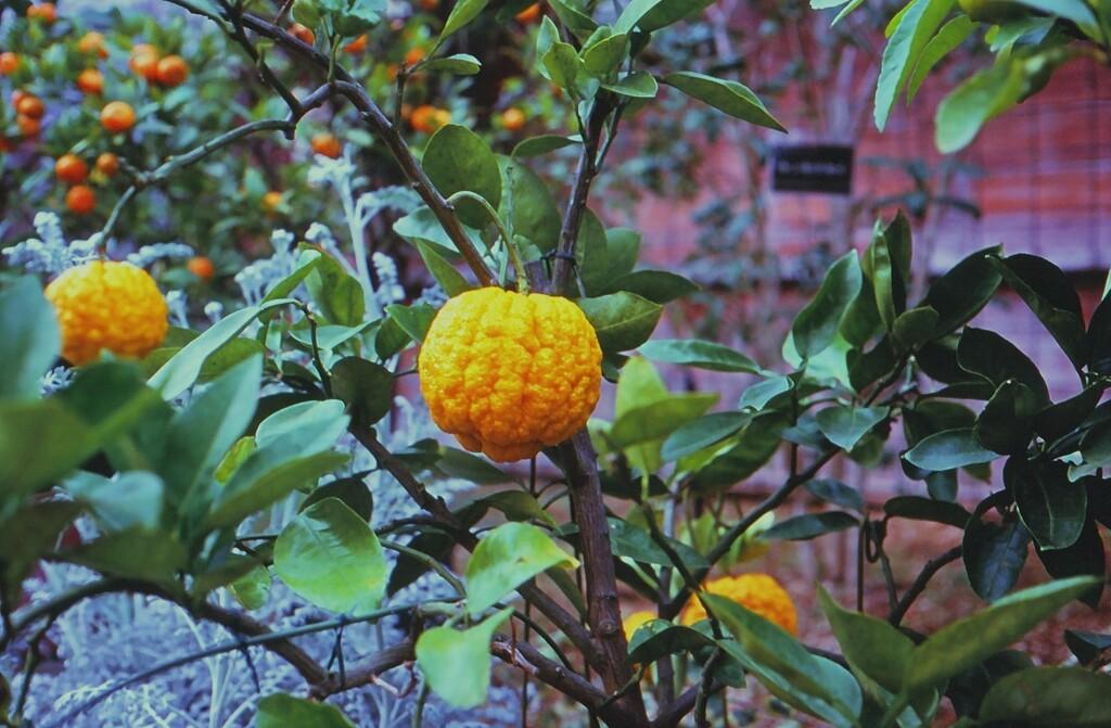 温室で柑橘・・・
