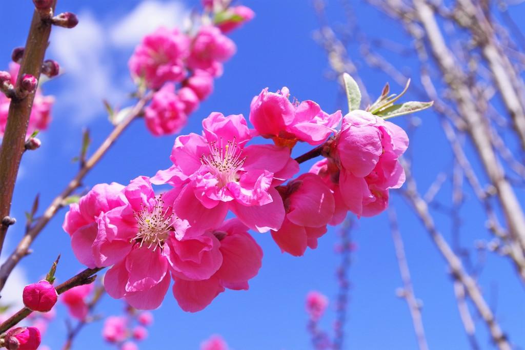 花桃が咲く丘
