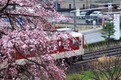枝垂れ桜、見てますか?