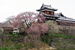 枝垂れ桜は咲き始め-郡山城跡-