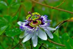 不思議の国の花