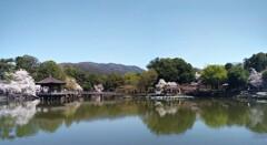 奈良公園の桜はやはりここですね。