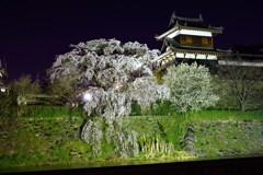 枝垂れ桜 -ライトアップ-