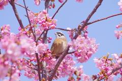 ホオジロさんも春を満喫♡