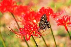 アゲハ蝶 ~彼岸花でお食事中~