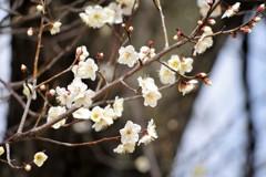 梅 ~ 早春を告げる色 ~
