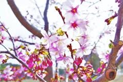河津桜も美味しそう♡