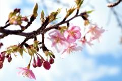 河津桜 -透き通る美しさ-
