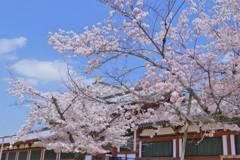 桜が彩る大仏殿