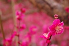 梅 -淡い春-