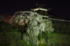 夜桜もまた良し ~しだれ桜ライトアップ~
