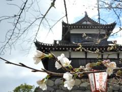郡山城跡の桜 ~ソメイヨシノ~
